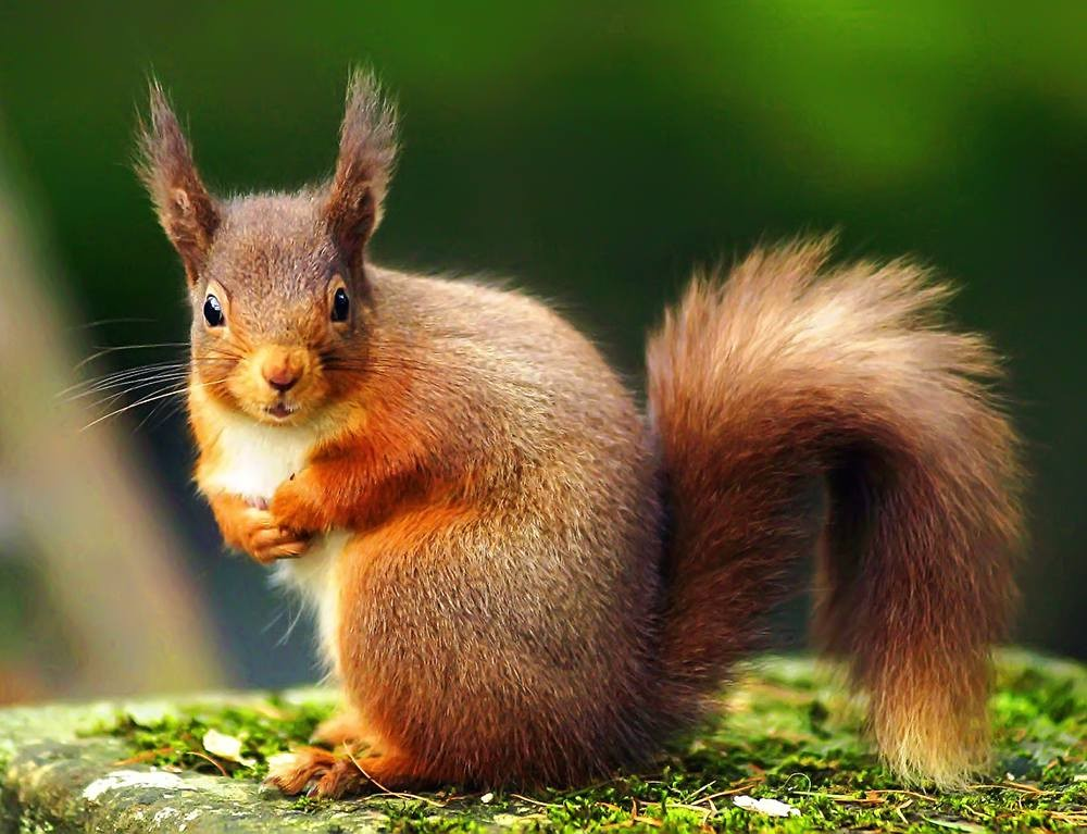 Red Squirrel Conservation Donation